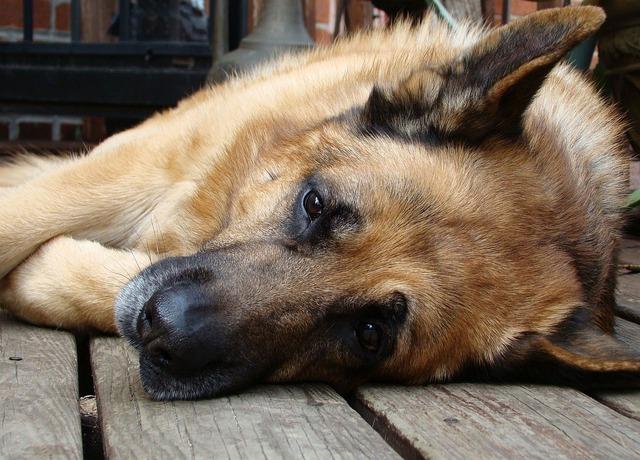 犬の血管肉腫の正しい知識。症状や治療法について