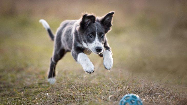 犬のおもちゃは青色がいいというのは本当?