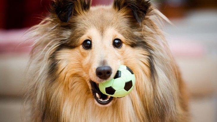 なぜ犬は飼い主におもちゃを持ってくるの?どんな気持ちなの?