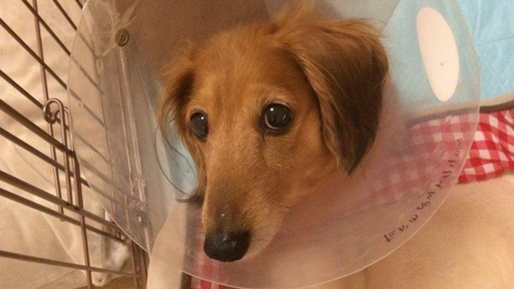 犬の血流障害 ダックスの愛犬マロンが3本足になるまで