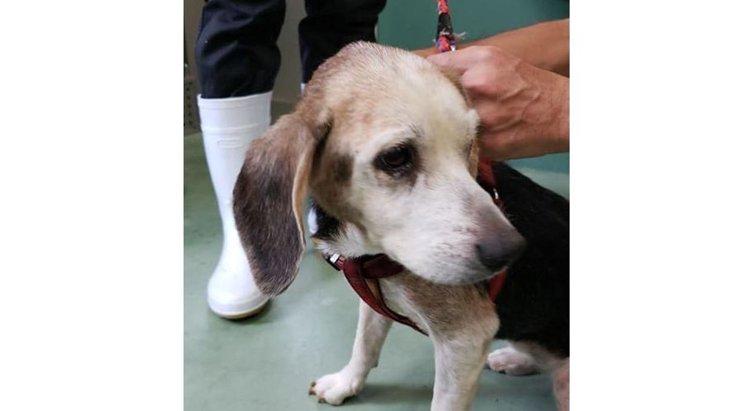 14歳のビーグル犬は、飼い主の入院で保健所に持ち込まれた