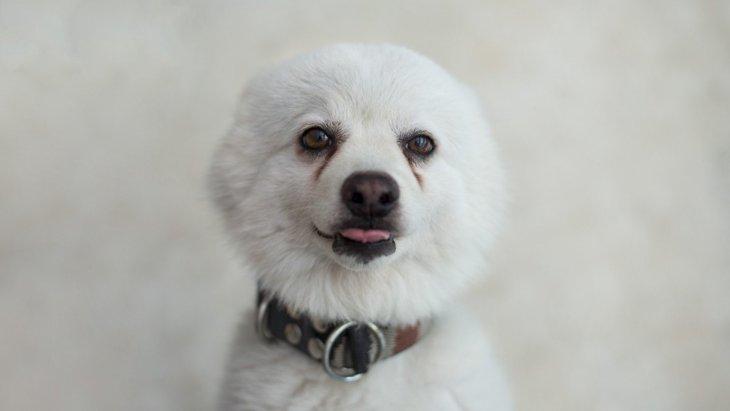 犬の涙の裏に隠れているかもしれない3種類の病気と涙焼けへの対処