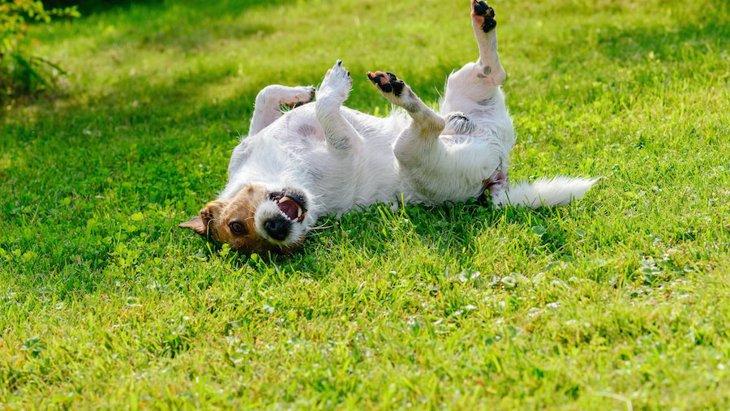 犬がお腹を出して体をくねくねする心理7つ
