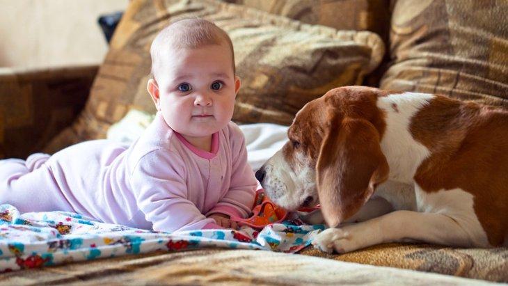 ワンコは人間の赤ちゃんを守ろうとする!?
