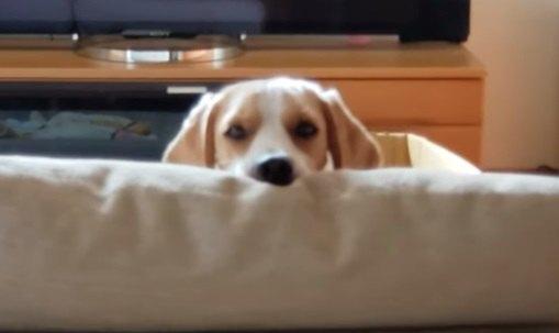 目は口ほどに物を言う!熱視線で飼い主さんを呼ぶビーグルくん♡