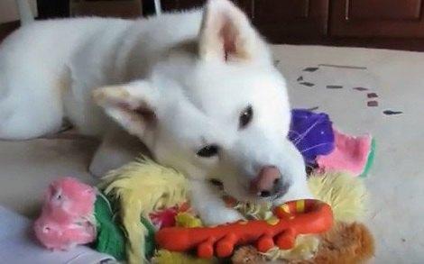 捨てちゃヤダ!ボロボロのおもちゃでも大切にする秋田犬