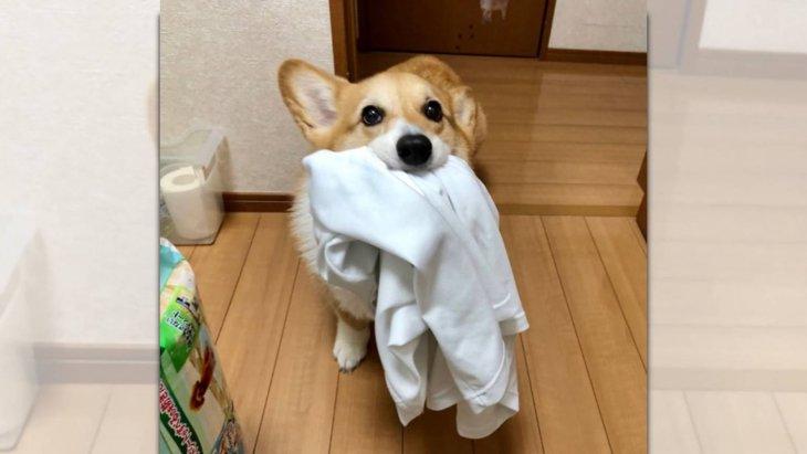 「持ってきました」お父さんから渡された洗濯物を運ぶコーギーさん