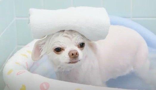 【お風呂大好き】上機嫌で堪能するチワワちゃん