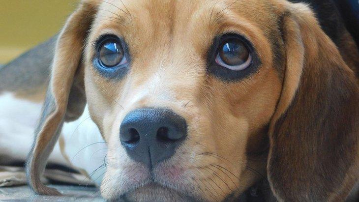 なぜ犬は人間に甘えてくるの?遺伝子レベルでの研究結果も