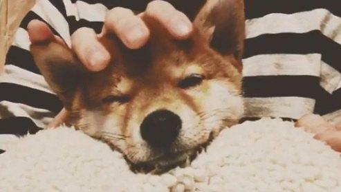 柴犬の子犬ちゃん、美容師さんのヘッドスパでリラックス♪