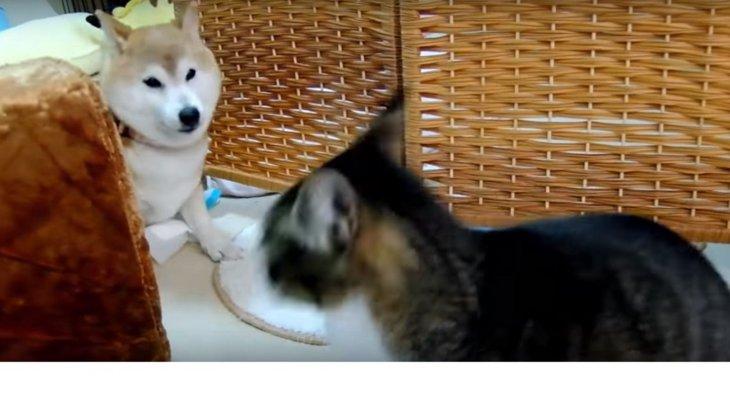「ワンッ」っていってよ!遊んでもらいたい猫とおばあちゃん柴犬