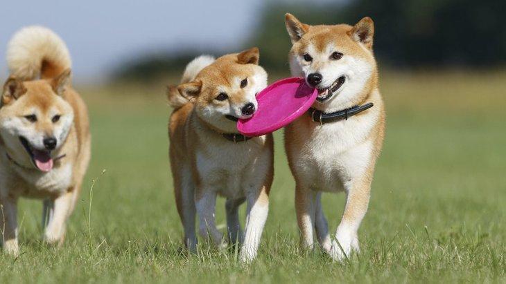 柴犬のおもちゃはコレがおすすめ!遊び方や遊びのルールについても解説!