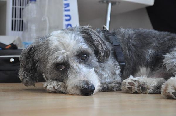 犬の風邪の症状と原因。予防法と治療方法