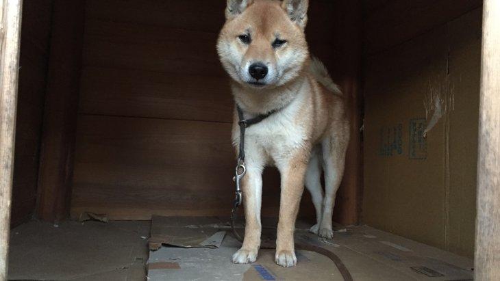 ドッグレスキュー!【保護犬】柴犬のマサオを救え!