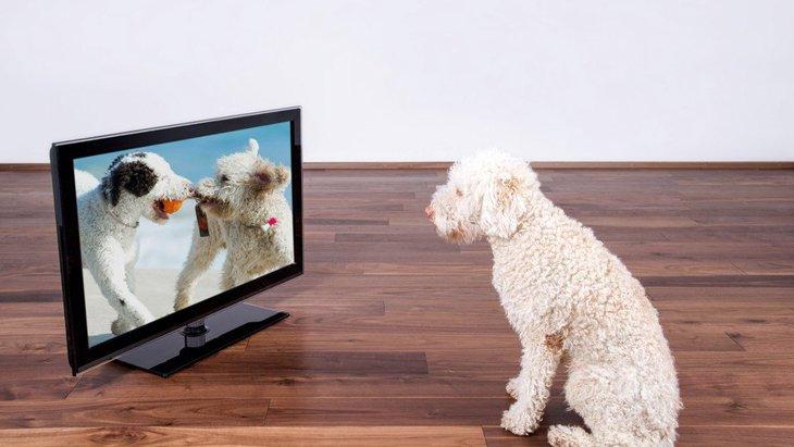 犬が『テレビをジッと見ている』時の心理5選!映像の意味は理解しているの?