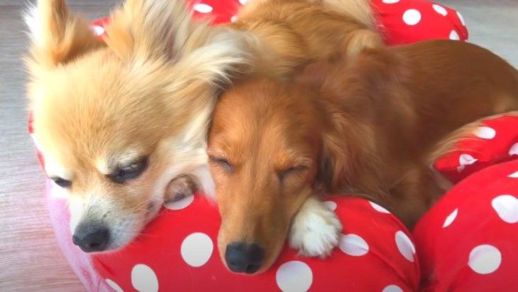 【天使たちの寝顔】5匹のワンちゃんが仲良く集まってお昼寝タイム♡