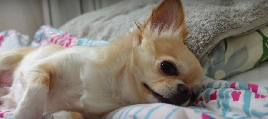 そうは問屋が卸さない…!飼い主の二度寝を徹底阻止するチワワさん♡