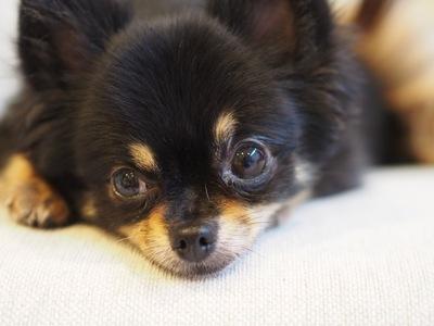 日曜の夜、人が憂鬱になる土日病。実は犬にもあった?