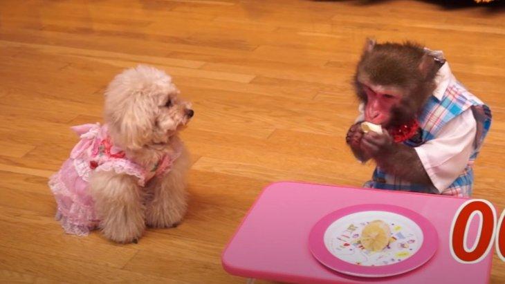 大丈夫?レモンを食べるお猿さんを見守るトイプードル