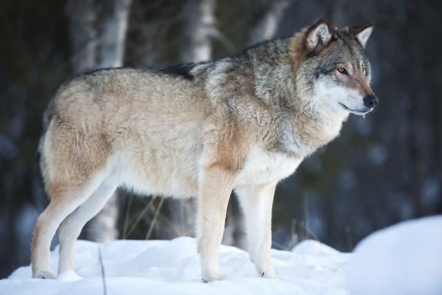 「オオカミ」と「犬」 4つの違い