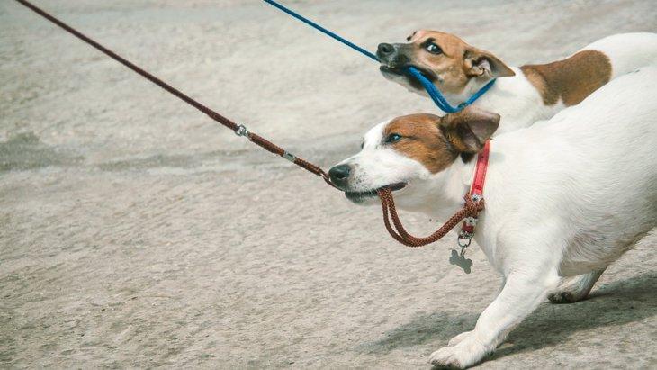 お散歩で愛犬がリードを噛んでしまう4つの理由と5つの対処法