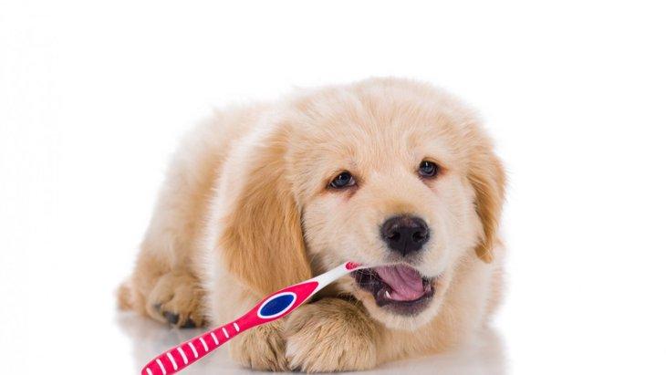 犬の歯周病を予防するために必要なブラッシングの頻度は?【研究結果】