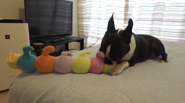 破壊神降臨…!お気に入りの青虫さんのおもちゃを破壊するボストンテリアちゃん
