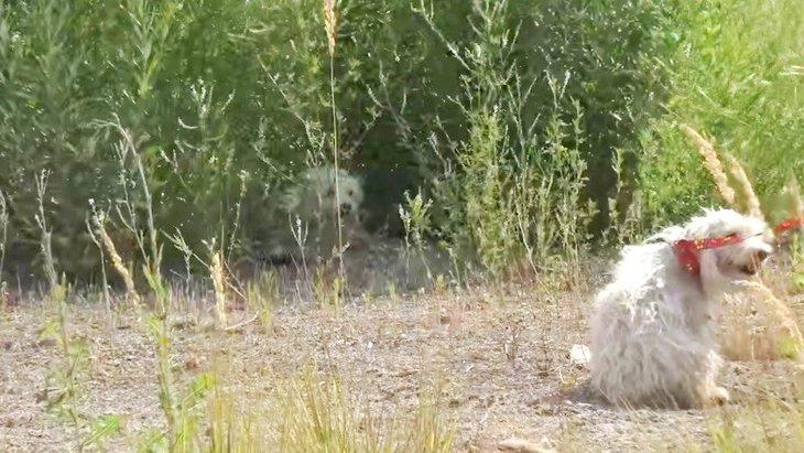 広い空地に捨てられた小型犬の親子。噛みつきにめげずに保護!