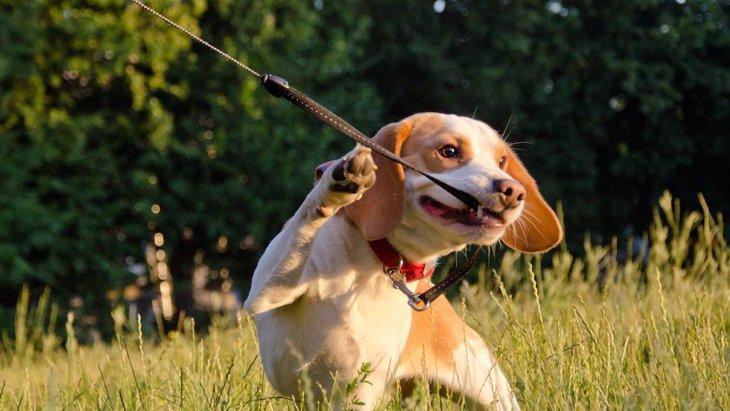 犬が散歩中に飼い主を引っ張る心理3つ