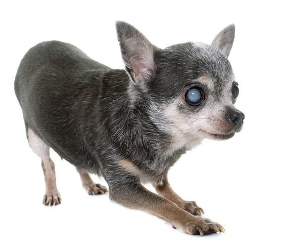 犬の核硬化症について 症状と原因、危険性など