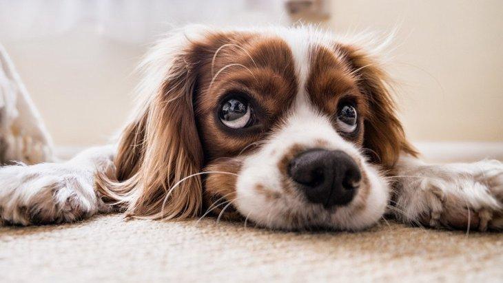 【研究結果】犬の目の「おねだりパワー」はどのくらい人間の心を掴むのか?