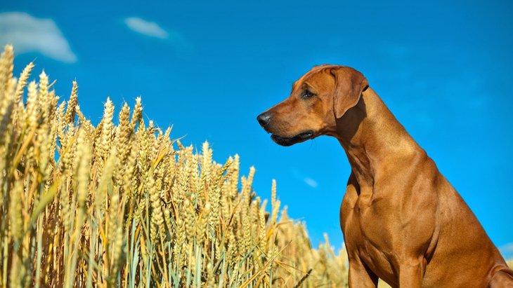 犬の嗅覚の新しい仕事、農作物の病気を探知する!