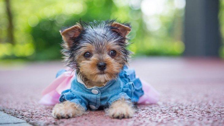 犬に洋服を着せると嫌がる心理3選!その洋服が本当に必要かどうか考えてみよう