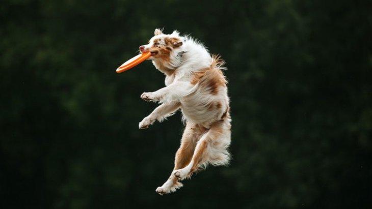 画面に映るフリスビーの動きを犬は目で追うことができる?という研究結果