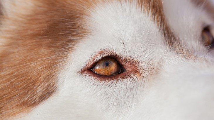 犬が目をしょぼしょぼさせる 原因と病気について