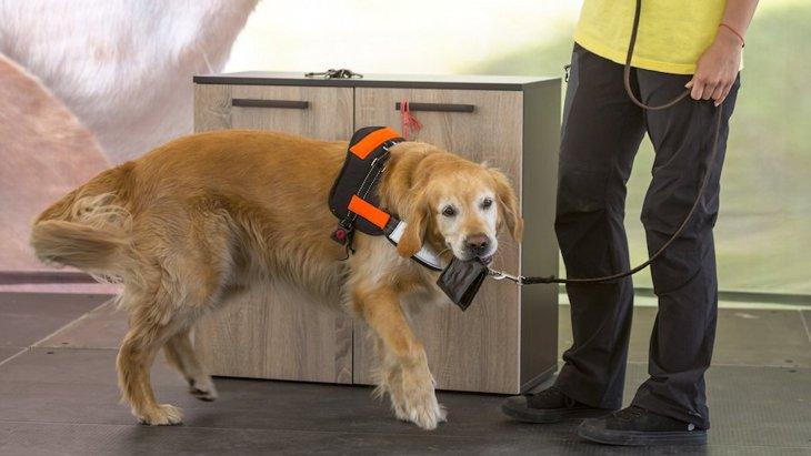 働く犬の適性を調査する研究、決め手は『認知能力』