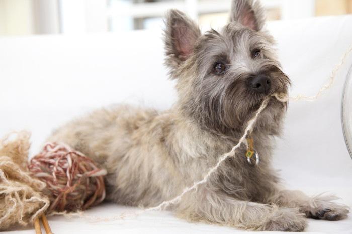 ケアーンテリアの性格や特徴、子犬の値段や飼い方まで