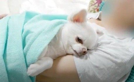 ワンちゃんと添い寝する幸せ♡チワワのお昼寝タイム
