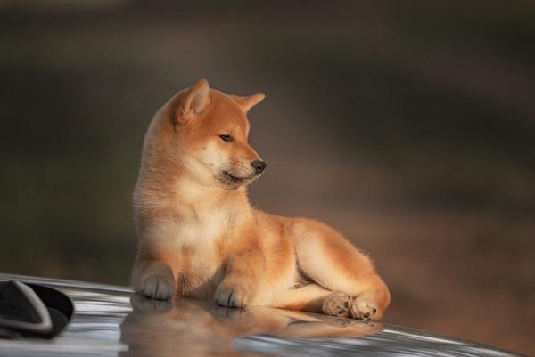 美濃柴犬は赤毛の希少犬種
