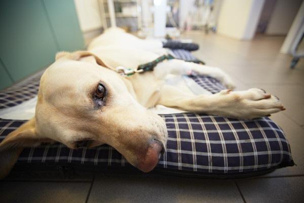 犬が急に倒れる原因と対処法