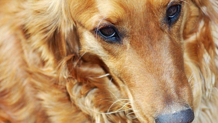 犬の逆さまつげ~症状、原因、治療法~
