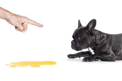 犬が失禁してしまう原因とは?そこから考えられる病気など