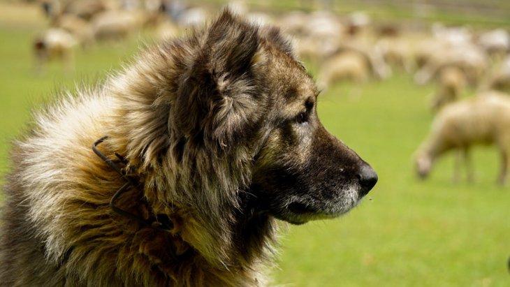 牧羊犬vsドローン、羊にとって優しいのはどちら?【研究結果】