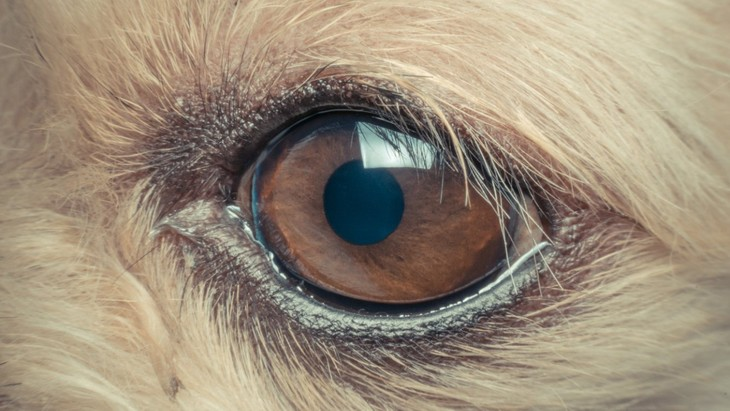 犬のドライアイ、罹りやすい犬種やリスク要因についてのリサーチ