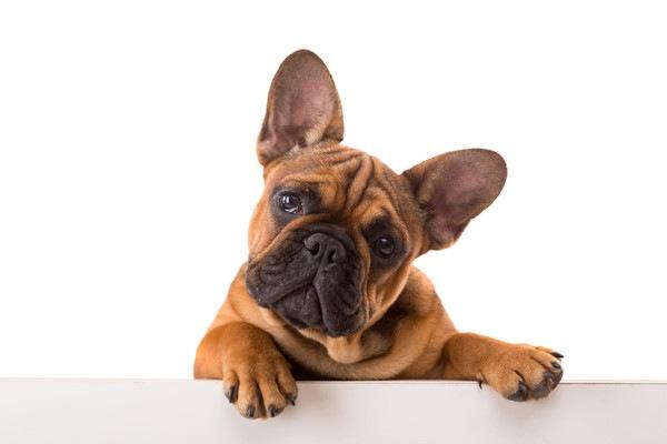 吠えない小型犬ランキング
