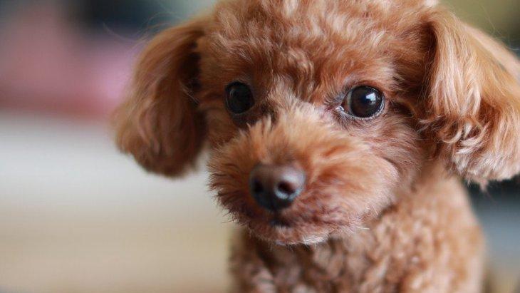 犬の毛の色はなぜ変わるの?どんなタイミングで変色する?