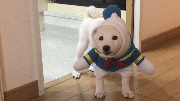 【バズ動画】服が嫌過ぎる柴犬さん、静止画になる(動画です)