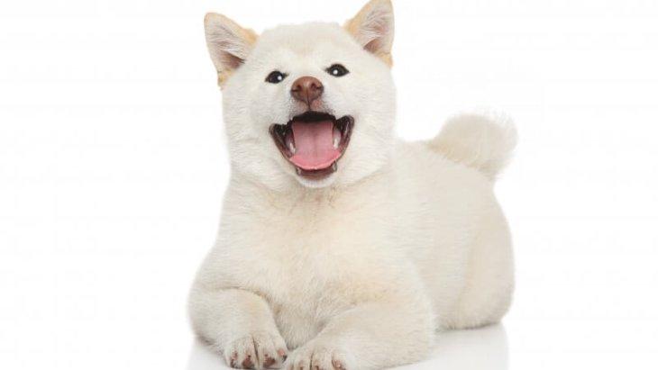 秋田犬の白い毛色について