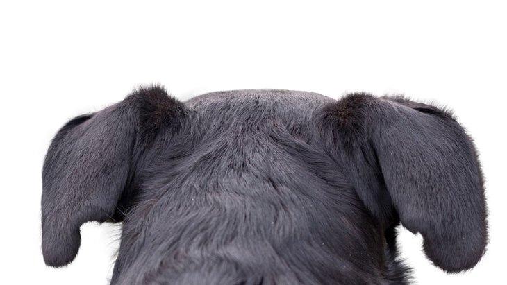 『耳が悪い犬』が見せるサイン4選!病院に連れていくべき症状とは?