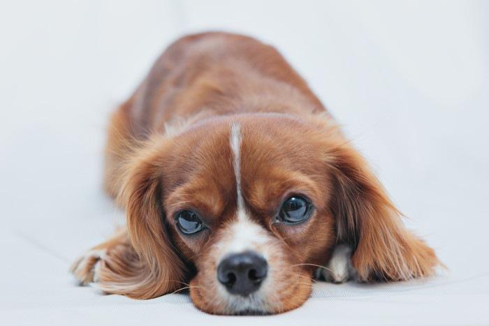 キャバリアの成犬の大きさについて